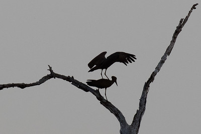 Mating Hamerkop