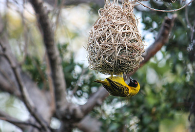 The Southern Masked Weaver or African Masked Weaver (Ploceus velatus) is a resident breeding bird species common throughout southern Africa. This individual was photographed in Limpopo Province, South Africa.