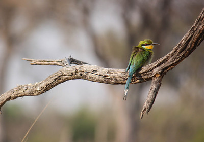 This Swallow-tailed bee-eater (Merops hirundineus) was found on a branch overhanging the Khwai River in the Okavongo Delta in Botswana.