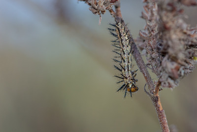 A particularly spiky caterpillar that I found on a morning walk in a remote corner of Gaza Province, Mozambique.