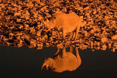 Black rhino at Etosha at night