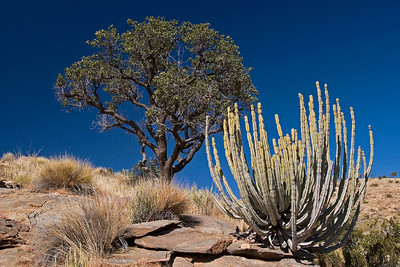 Euphorbia in the Namibian landscape