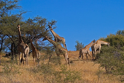 Giraffe family in acacia
