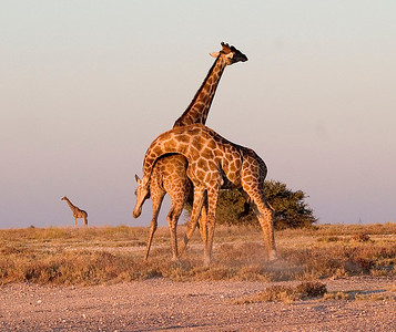 Male giraffes giving each other a good beating