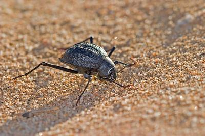 Dune-inhabiting darkling  beetle subsists on coastal fog for moisture