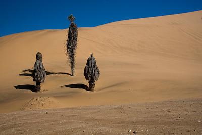 Coastal dune engulfing palm trees