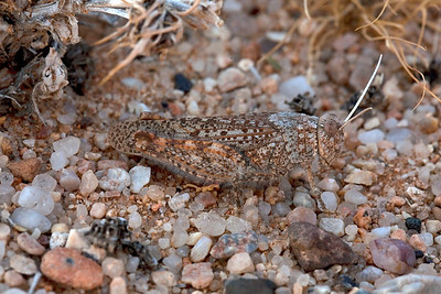 Rock mimicking grasshopper