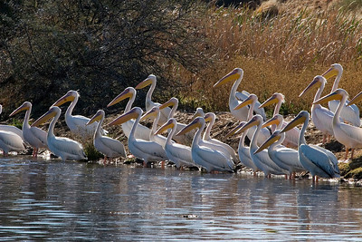 Juvenile African white pelicans