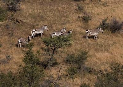 Mountain zebra family outside Windhoek