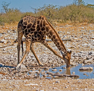 Giraffes are most vulnerable to predators while drinking