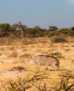 Giraffe and warthog on African savanna