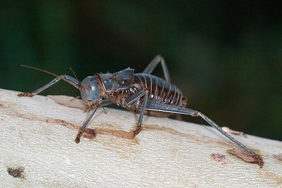 Armored ground crickets were everywhere and provided a protein source for many birds