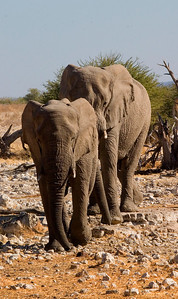 Desert elephants approaching a waterhole