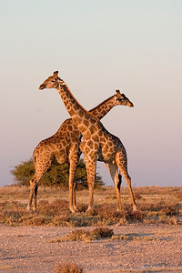 "Adult, male giraffes engaging in ""thwonking"" behavior"