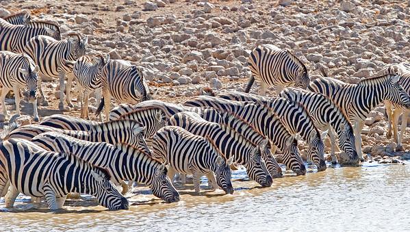 Hartlaub's zebras at waterhole
