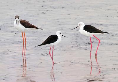 Black-winged stilts on salt flats
