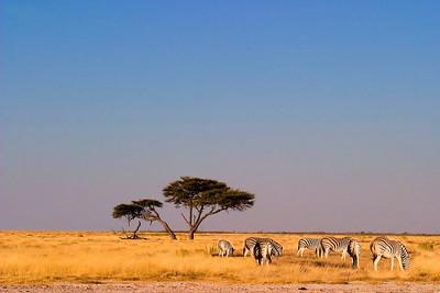 Hartlaub's zebra on savanna