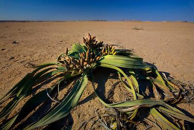 Welwitschia, the world's oddest tree