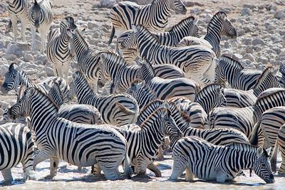 Zebra chaos at waterhole