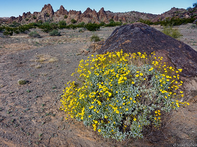 Brittle Bush in Crater Range