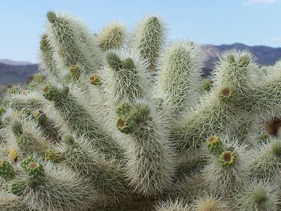 Thorns on a Bigelow Cholla