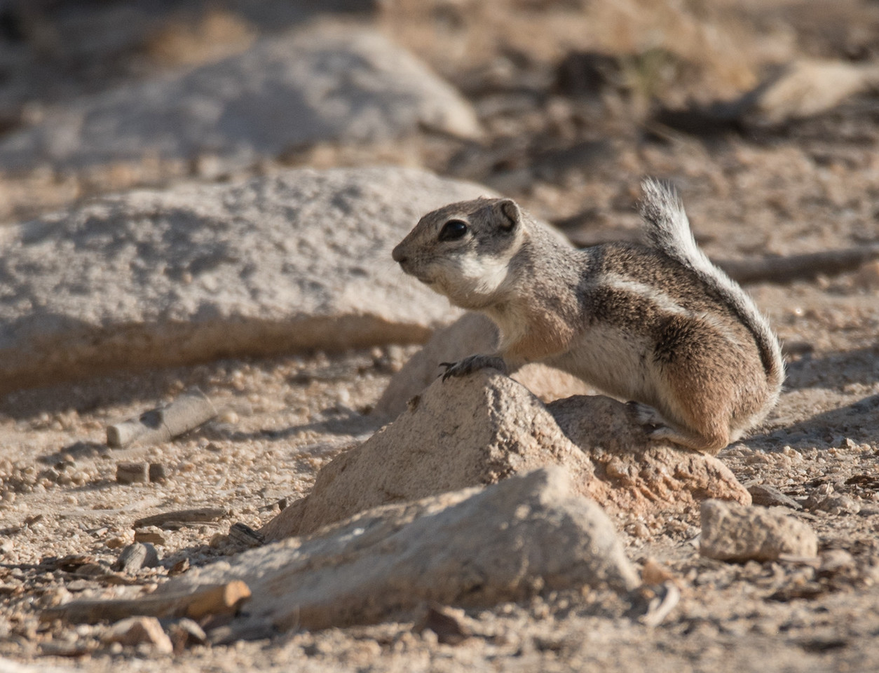 White-tailed Antelope Squirrel with stuffed cheek pouches