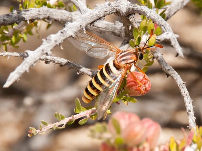 Wasp moth?