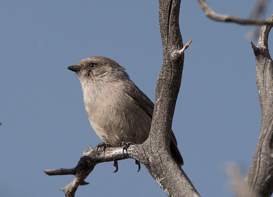 Bushtit perching on the branch of a Dead Tree
