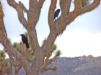 Pair of Common Ravens perched in the branches of a Joshua Tree by Cap Rock