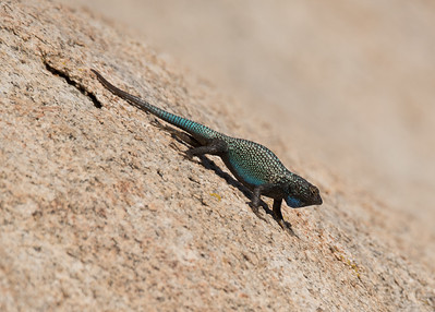 Great Basin Fence Lizard Displaying,  Barker Dam
