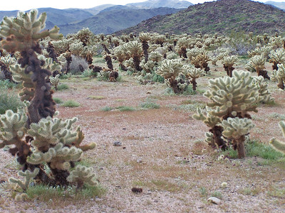 Bigelow Cholla Patch after a some rains.