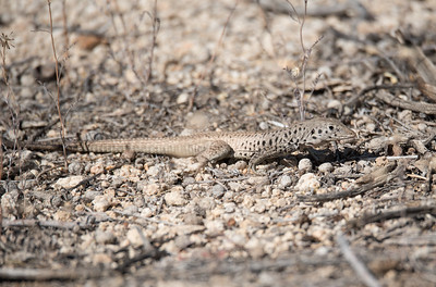 Tiger Whiptail lizard actively foraging in a wash.
