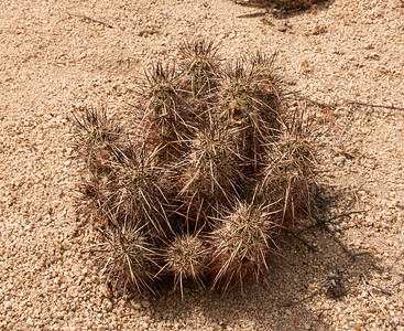 Mojave Mound Cactus, Cottonwood Springs