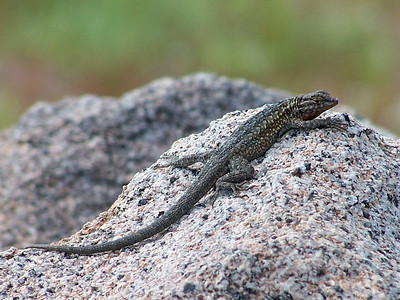 Side-blotched Lizard basking atop a rock.