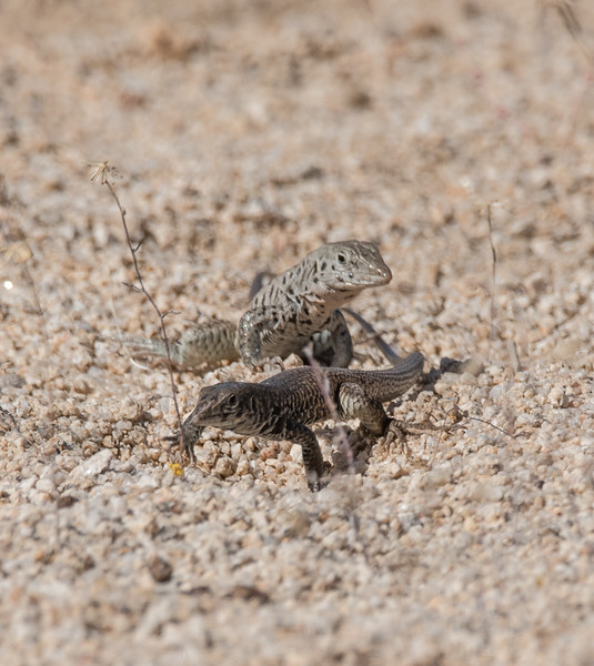 Male Tiger Whiptail Lizard following a female around a desert wash.