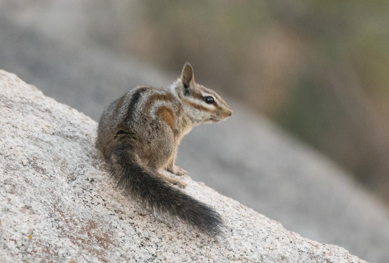 California Chipmunk pausing on a rock.