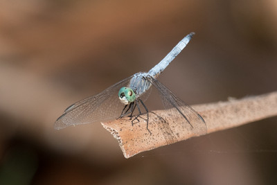 Blue Dasher Dragonfly perching an a dead Bulrush leaf