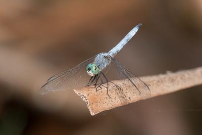 Blue Dasher Dragonfly perching an a dead Bulrush leaf