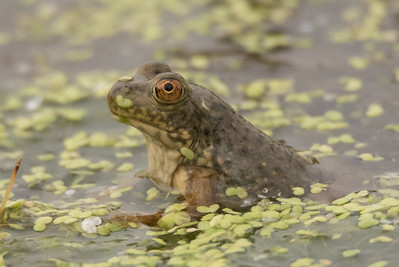 Young (small) American Bullfrog sitting in the shallows of the lake.