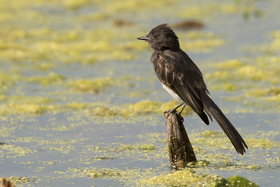 Black Phoebe perching on a protruding stump
