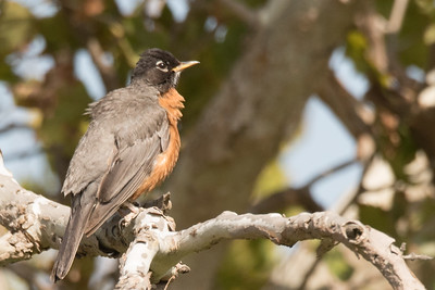 American Robin appearing to be enjoying the sun's warmth.