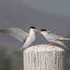Forster's Tern feeding its grown chick.