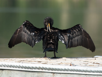 Double -crested Cormorant drying on the boat dock.