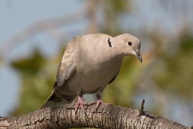 Eurasian Collared-dove examining the photographer