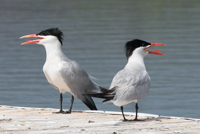 Caspian Terns standing on the boat launch dock, gular flapping in the heat