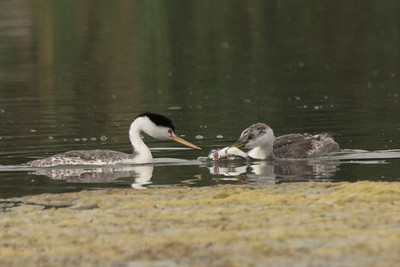 Clark's Grebe feeding a fish to its chick.