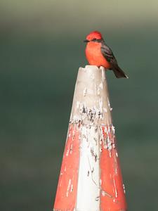 Vermillion Flycatcher perching on a traffic cone