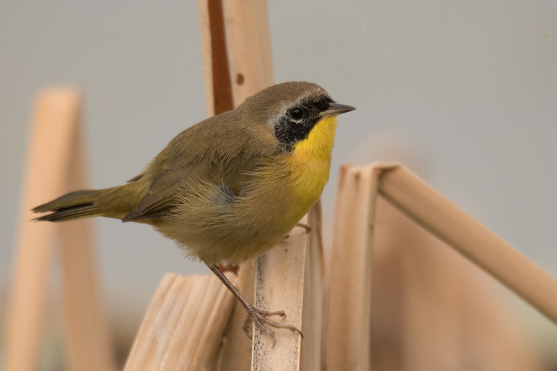 Common Yellowthroat perching on a dead bulrush