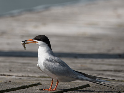Forster's Tern adult with a fish.