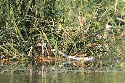 Pair of Clark's Grebes nesting amongst bulrushes.